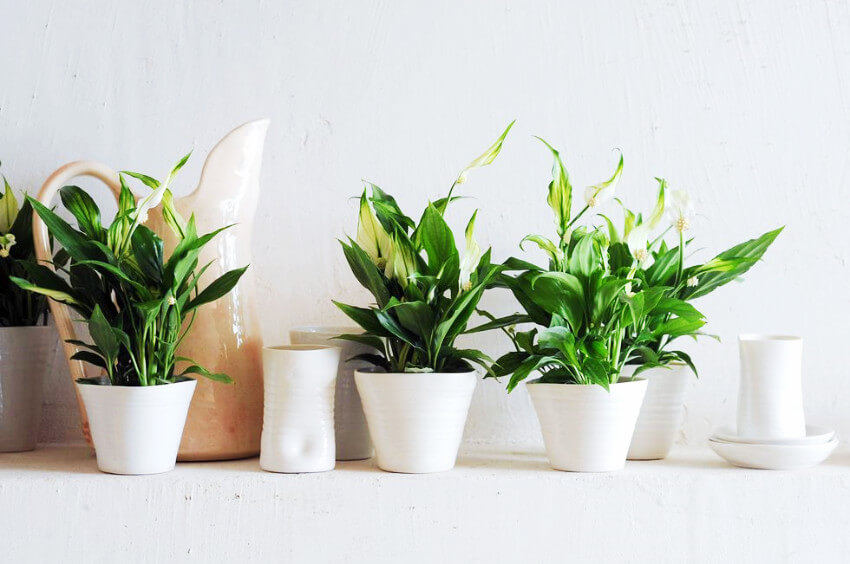 The peace lily is easy to keep and a beautiful decor addition!