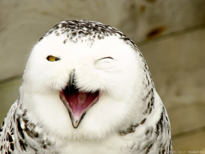 This owl looks like it just told a funny joke!
