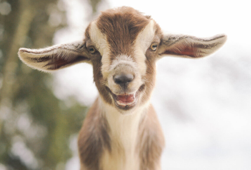 This photogenic goat is too cute to handle!