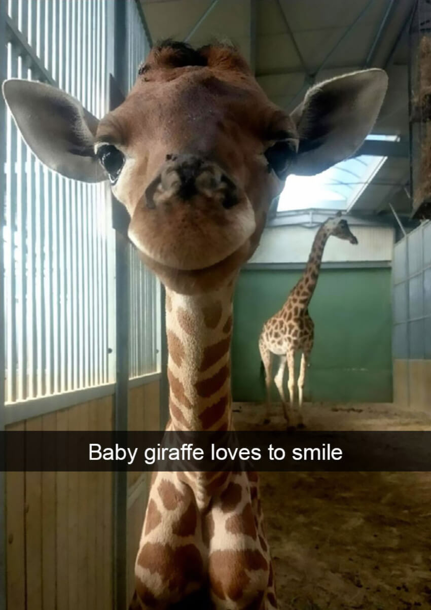 This baby giraffe is super cute!