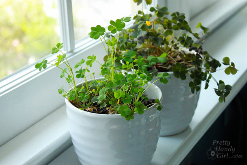 Real clover potted to make your home pretty.