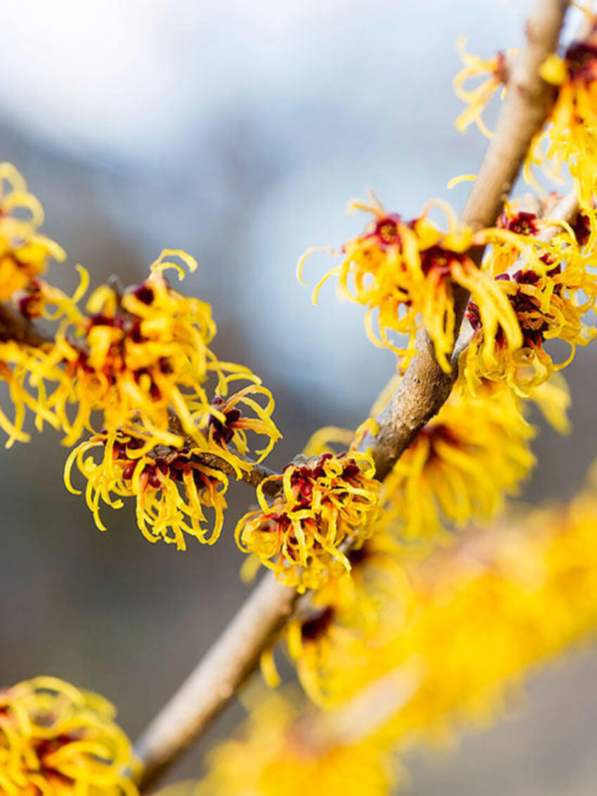 Witch hazel is gorgeous for your winter landscape.